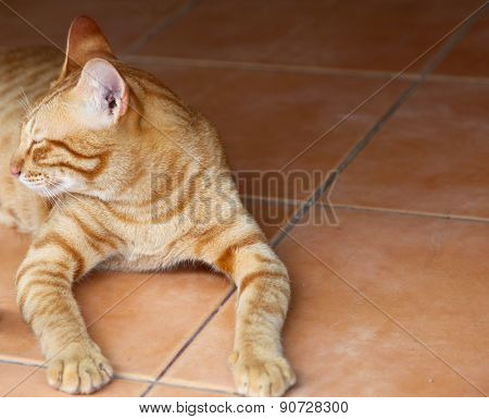 Red Cat Oriental Breeds