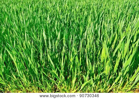 The Stems Of Young Plants Of Grain Crops In The Field.