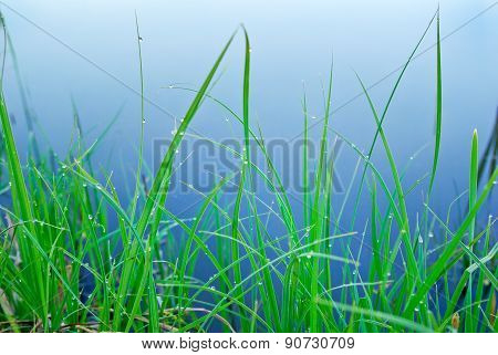 Green Sedge In The Morning Dew On The Shore