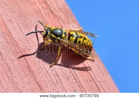 Large Female Wasp Sits On A Wooden Board