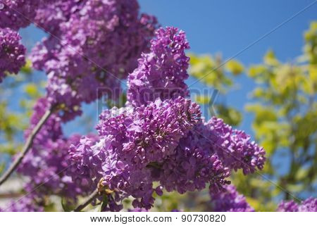 Blooming Lilac Bushes Against The Clear Blue Sky In Spring