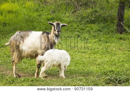 Baby Goat And Mama Goat In The Field