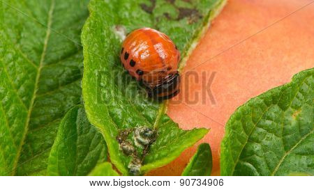 Colorado Potato Beetle Larva Eating Potato Leaf