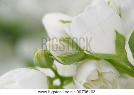 Beautiful White Jasmine Flowers Macro