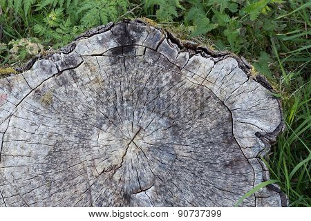Cross Section Of Old Tree Trunk Surrounded With Grass Nettle