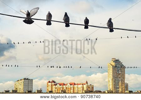 Pigeons Sits On An Electric Wire.