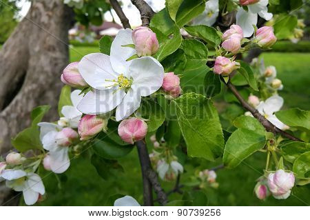 Beautiful Flowers Of Spring Apple-tree
