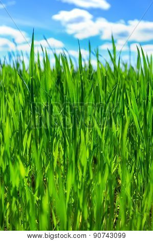 Grass and cloudy blue sky