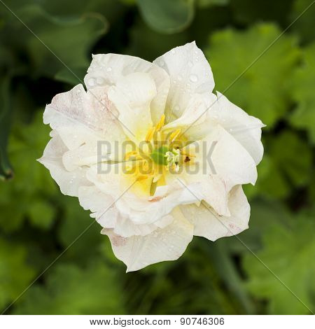 High angle view of white Double Late Tulip, also called Peony Tulip, with rain drops