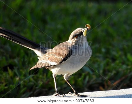 EArly Mockingbird Catches th Worm