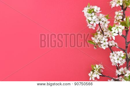 Blooming Branch Of Cherry, Spring Flowers On Red Background With Space For Greeting Message. Mother'