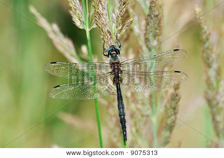 Cordulia Aenea Dragonfly With Green Eyes
