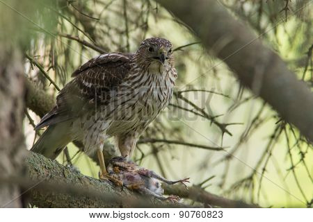 Cooper's Hawk With American Robin Prey