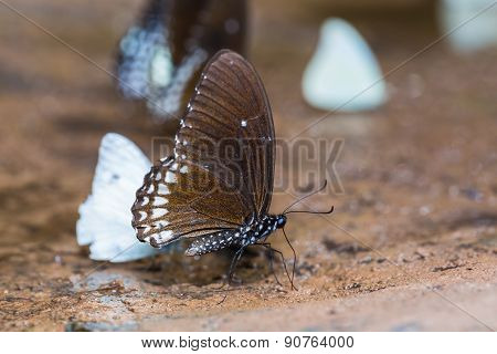 Burmese Raven Butterfly
