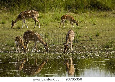 herd of spotted deers in the riverbank, Bardia, Nepal