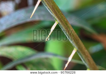 Thorns of Zalacca with drop water