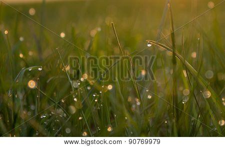 Morning Dew Glistens In  Sun