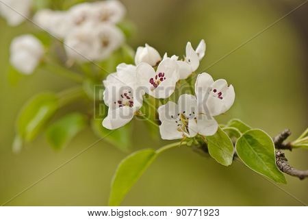 Twig Blossoming Pear