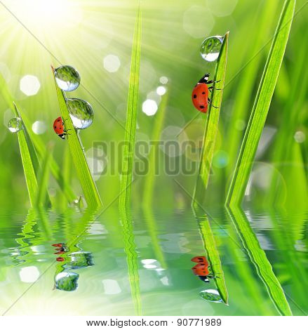 Fresh morning dew and ladybirds.