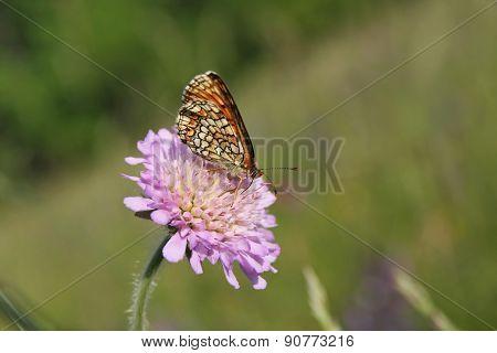 Butterfly Heath Fritillary (Mellicta athalia)