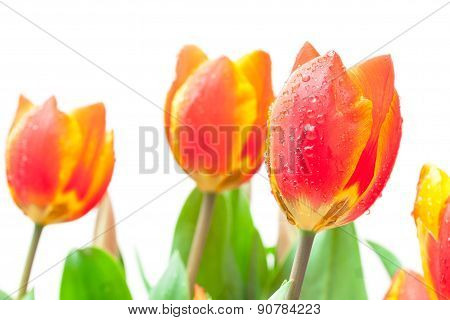 Isolated Red Tulips
