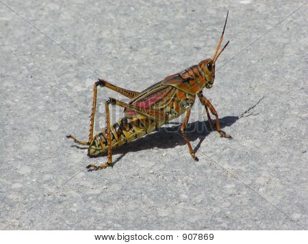 Cricket For Sale