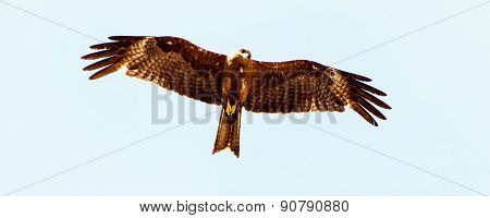 Sharp view of an eagle looking down for its prey on a light blue sky background