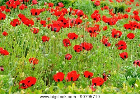 Red Colored Poppy Field