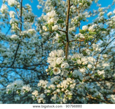 blooming wild pear