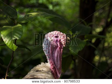 Headshot of a male turkey with undergrowth background