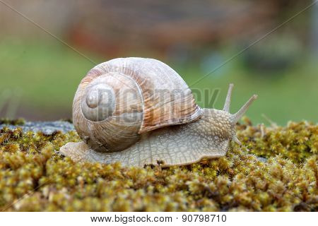 Snail On Green Moss gliding slowly