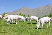 picture of calves  - Summer season on Italian Alps - JPG
