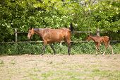 picture of grassland  - Horse and foal walking on grassland on ranch on sunny spring day - JPG