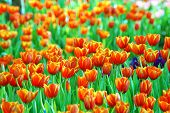 picture of orange blossom  - Orange tulips field blossomed in the spring - JPG