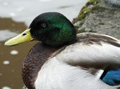 picture of male mallard  - Close up view of male mallard on riverside footpath - JPG
