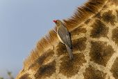 image of ox-pecker  - Giraffe wildlife animal closeup relationship with red - JPG