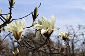 foto of magnolia  - blooming white magnolia flowers in spring garden closeup - JPG