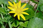 picture of eukaryote  - Buttercup yellow flower blooming in the spring in the woods - JPG
