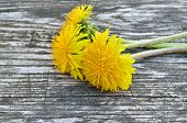 foto of eukaryote  - Yellow dandelion flowers on a wooden background - JPG