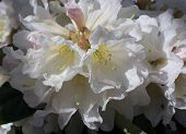 foto of may-flower  - White rhododendron flower closeup with petals and pistils in May - JPG