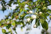 pic of tree-flower  - Apple tree white flower blossoming at spring - JPG