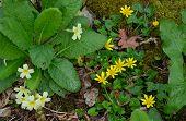 picture of primrose  - Primrose and Lesser Celandine on woodland floor Gransden Cambridgeshire - JPG