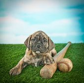 stock photo of baseball bat  - Cute Bulldog puppy laying in the grass with a bat and a baseball with a blue sky behind him - JPG