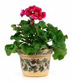 picture of geranium  - Red geranium flower in a clay pot isolated on white background - JPG
