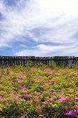 stock photo of azalea  - Field of Royal Azalea on Daegwallyeong mountain range in Gangneung South Korea along Baugil - JPG