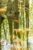 image of swamps  - cypress forest and swamp of Congaree National Park in South Carolina  - JPG