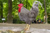 image of hungarian  - Hungarian speckled rooster  - JPG