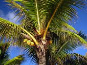 stock photo of mauritius  - Yellow coconuts on the palm under the blue sky in Mauritius - JPG