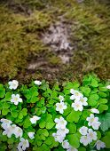 image of sorrel  - Wood sorrel Oxalis acetosella in forest at springtime - JPG