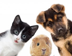 image of pig  - Puppy and kitten and guinea pig on a white background - JPG